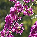 Pink Bougainvillea Sunshine by Carol Groenen