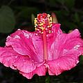 Pink by Brenda Conrad