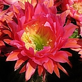 Pink Cactus Flower by Michelle Cassella