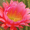 Pink Cactus Flower Of The Southwest by Michelle Cassella
