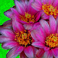 Pink Cactus Flowers by Bruce Nutting