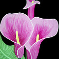 Pink Calla Lilies 1 by Angelina Vick
