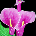 Pink Calla Lillies 2 by Angelina Vick
