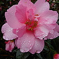 Pink Camelia With Droplets by Grant Hickey