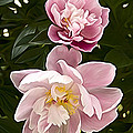 Pink Camelias by Alice Gipson
