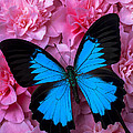 Pink Camilla And Blue Butterfly by Garry Gay