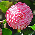Pink Camellia  by Deborah Good