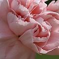 Pink Carnation by Carol Lynch