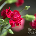 Pink Carnation by Sharon Talson