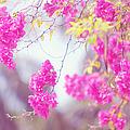 Pink Cascade Of Bougainvillea by Jenny Rainbow