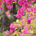 Pink Cascade Of Bougainvillea. Vertical by Jenny Rainbow