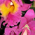 Pink Cattleya Orchid by Hope VanCleaf