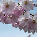 Pink Cherry Blossom by Lena Photo Art