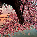 Pink Cherry Blossom Sunrise by Metro DC Photography