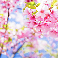 Pink Cherry Blossoms In Bloom by Marser