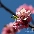 Pink Cherry Tree Blossom by Kenny Glotfelty