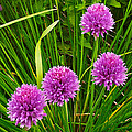 Pink Chives In Mackinac Island-michigan by Ruth Hager