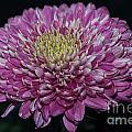 Pink Chrysanthemum by Matt Malloy