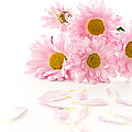 Pink Chrysanthemums Beautiful by Boon Mee