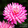 Pink Chrysanths by Nick  Biemans
