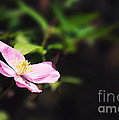 Pink Clematis In Sunlight by Jane Rix