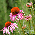 Pink Cone Flower by Art Block Collections