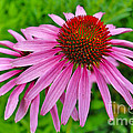 Pink Cone Flower by Janice Pariza