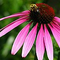 Pink Cone Flower by Laura Corebello