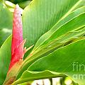 Pink Cone Ginger Bud by Mary Deal