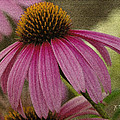Pink Coneflower by James C Thomas
