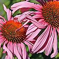 Pink Coneflowers by Athena Mckinzie
