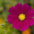 Pink Cosmos 3 by Roger Snyder