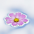 Pink Cosmos Flower Floating On Water by Tim Gainey