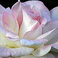 Pink Cotton Candy by Wanda Brandon