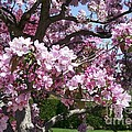 Pink Crabapple by Laurie Eve Loftin