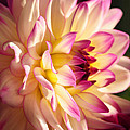 Pink Cream And Yellow Dahlia by Olivia Hardwicke