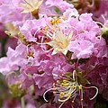 Pink Crepe Myrtle Closeup by Carol Groenen