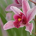 Pink Cymbidium Orchid by Gill Billington