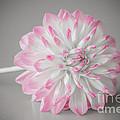 Pink Dahlia by Amanda Mohler