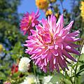 Pink Dahlia Flower Closeup by Jit Lim