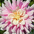 Pink Dahlia Flower by Thomas J Rhodes