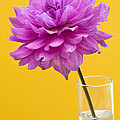 Pink Dahlia In A Vase Against Yellow Orange Background by Natalie Kinnear