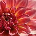 Pink Dahlia by Jacklyn Duryea Fraizer