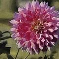 Pink Dahlia by Jeffrey Kolker