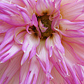 Pink Dahlia by Lisa Foster