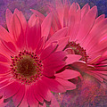 Pink Daisies Abstract by Phyllis Denton