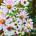 Pink Daisies Flowers by Rose Wang