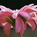 Pink Daisy 1 by Carol Lynch
