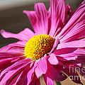 Pink Daisy by Birgit Tyrrell