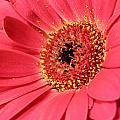 Pink Daisy by Paul Fell
